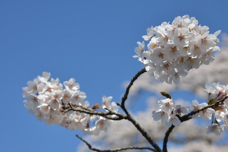 桜は・・・まだまだ満開でした(^O^)/
